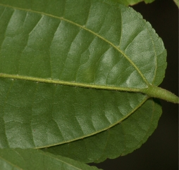 Glyphaea brevis Leaf base, lower surface.