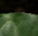 Scytopetalum pierreanum Leaf margin, upper surface.