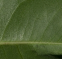 Scytopetalum pierreanum Midrib and venation, leaf lower surface.