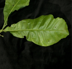 Brenania brieyi Leaf, lower surface.