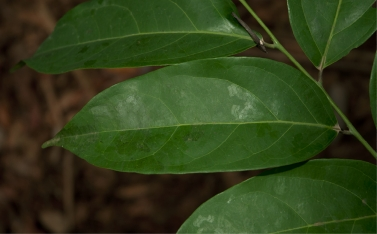 Diospyros iturensis leaf, upper surface.