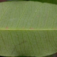 Garcinia ovalifolia Midrib and venation, leaf lower surface.