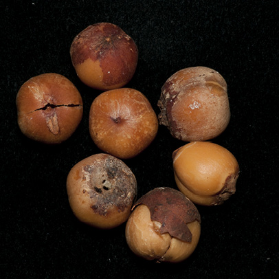 Afrostyrax lepidophyllus Dried seeds.