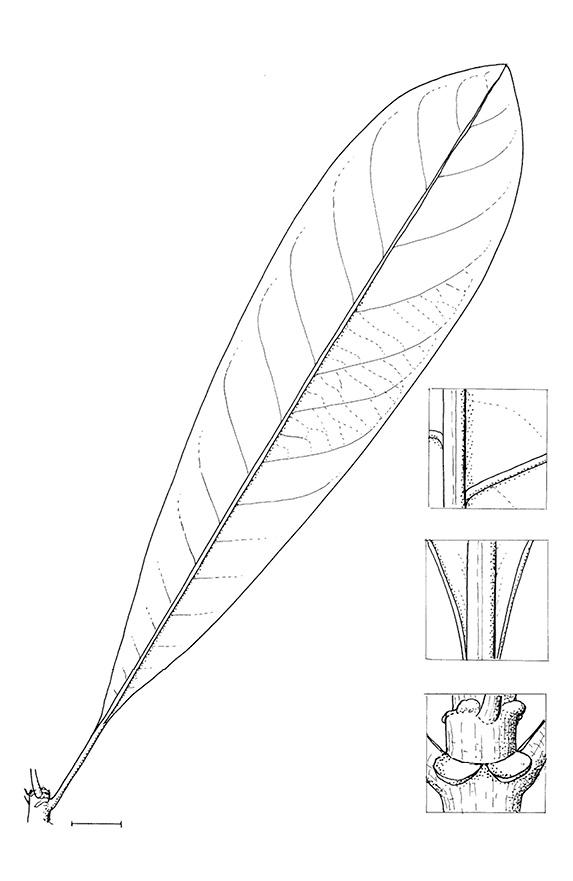 line image of Anthocleista liebrechtsiana