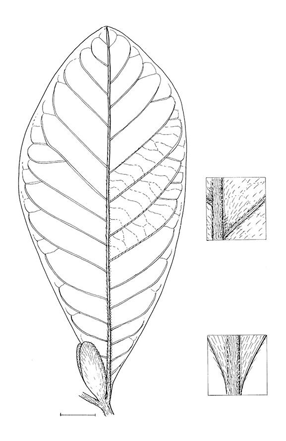 line image of Aoranthe cladantha
