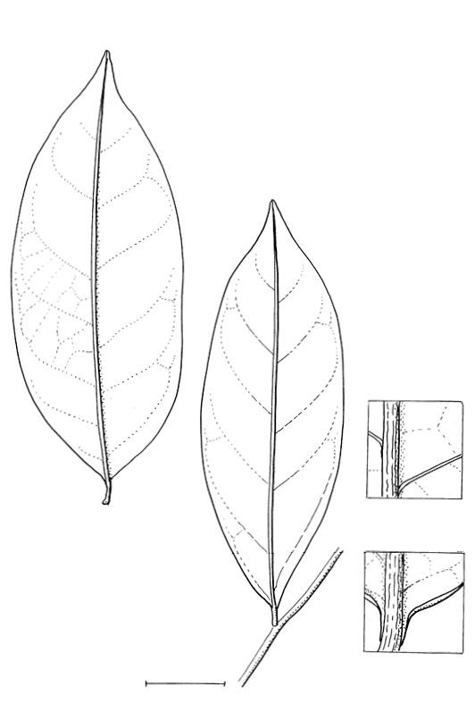 line image of Aptandra zenkeri