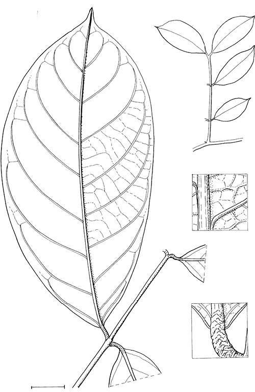line image of Berlinia bruneelii