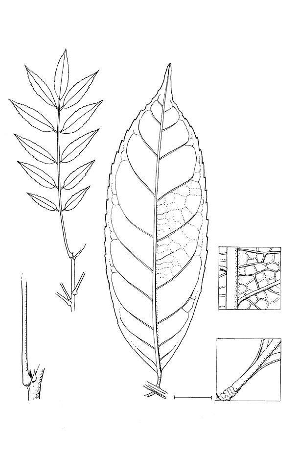 line image of Bersama palustris