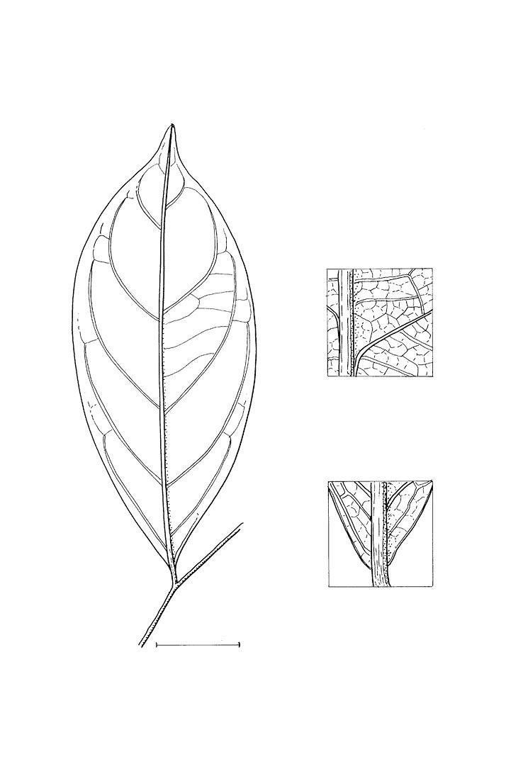 line image of Brazzeia congoensis
