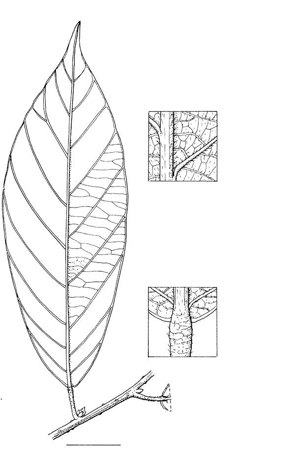 line image of Bridelia micrantha