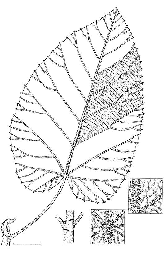 line image of Buchnerodendron speciosum