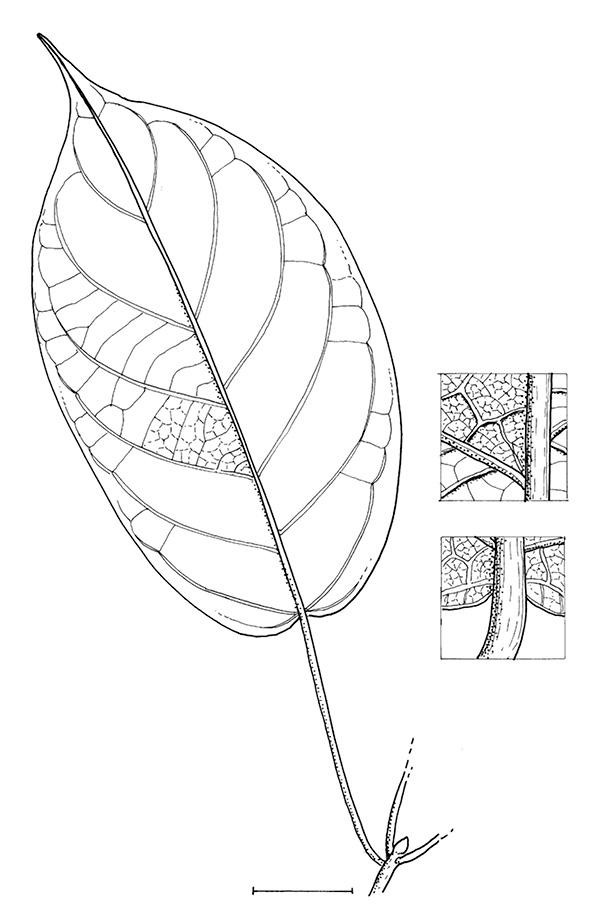 line image of Caloncoba crepiniana
