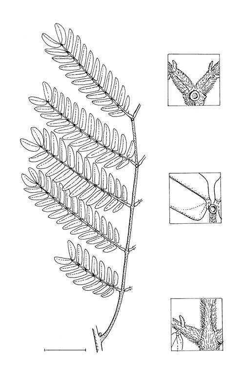 line image of Cathormion altissimum