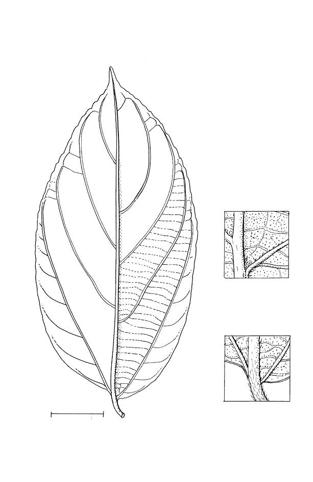 line image of Celtis zenkeri