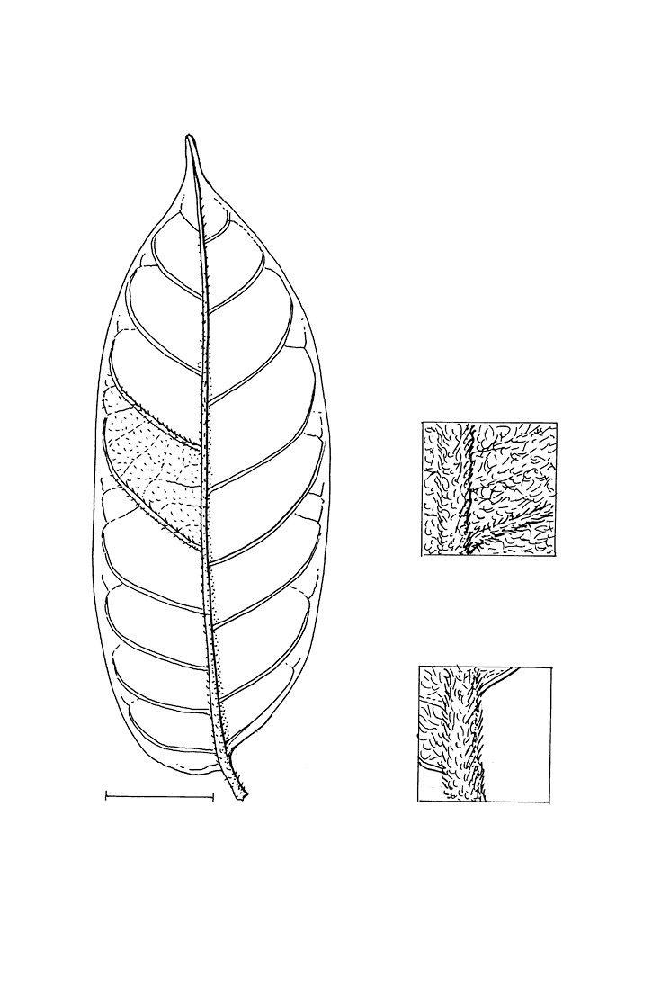 line image of Chrysophyllum beguei