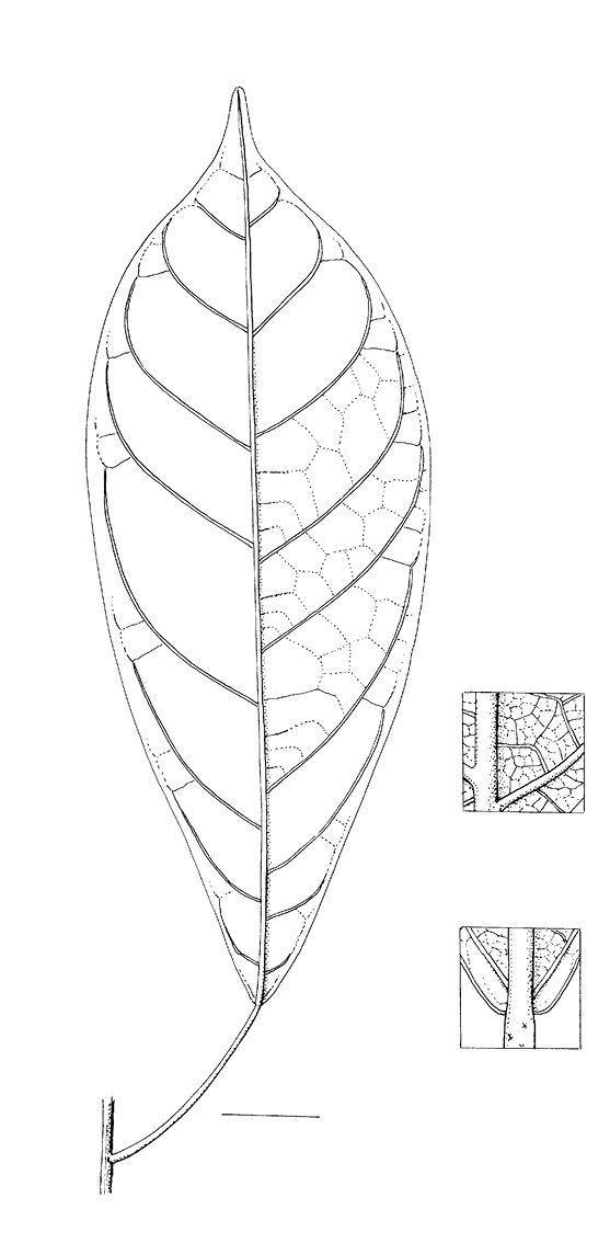 line image of Cola urceolata