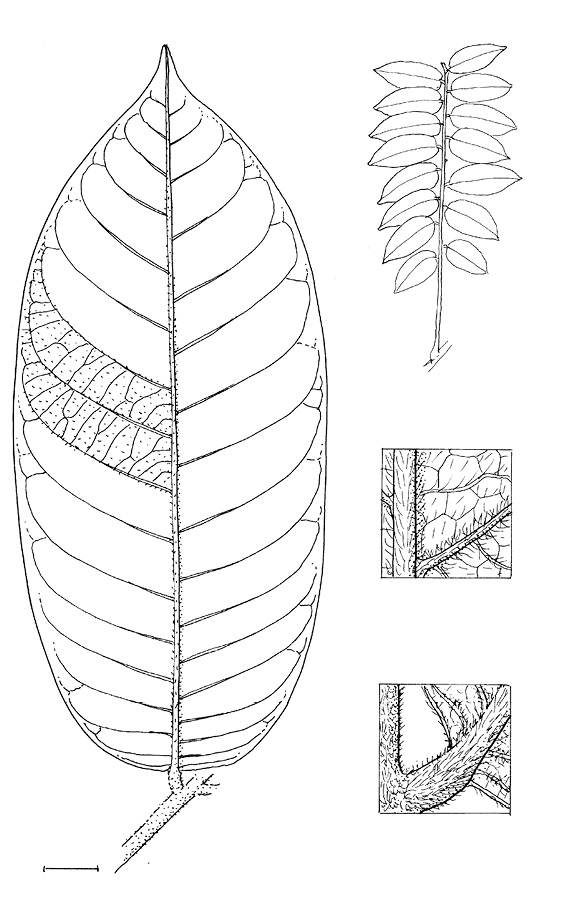 line image of Deinbollia molliuscula