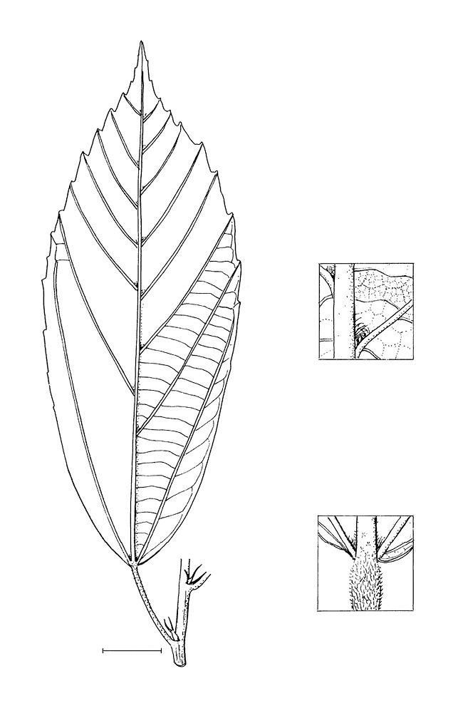 line image of Desplatsia dewevrei