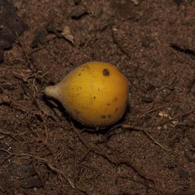 Dicranolepis pulcherrima Fruit.