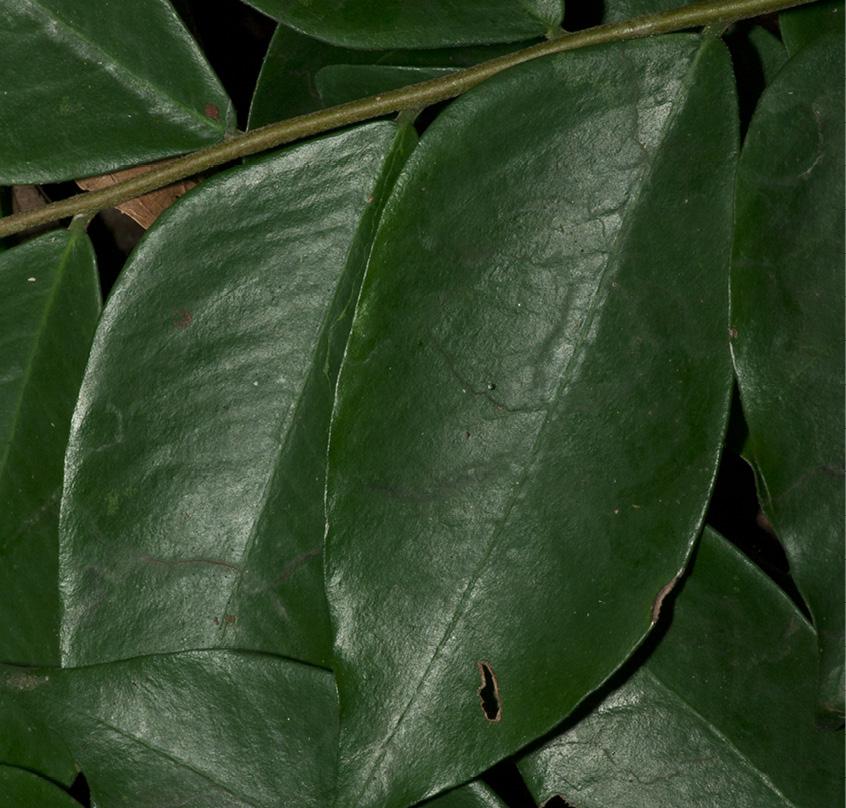 Dicranolepis pulcherrima Leaf, upper surface.