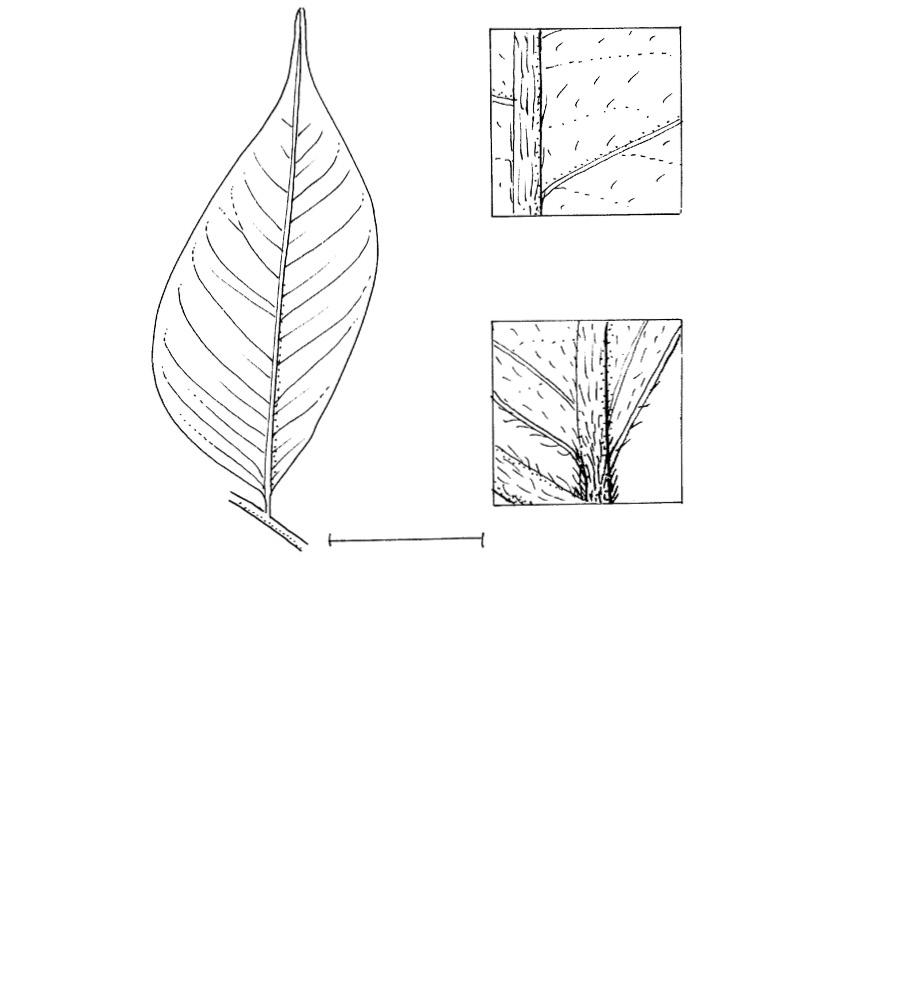 line image of Dicranolepis pulcherrima