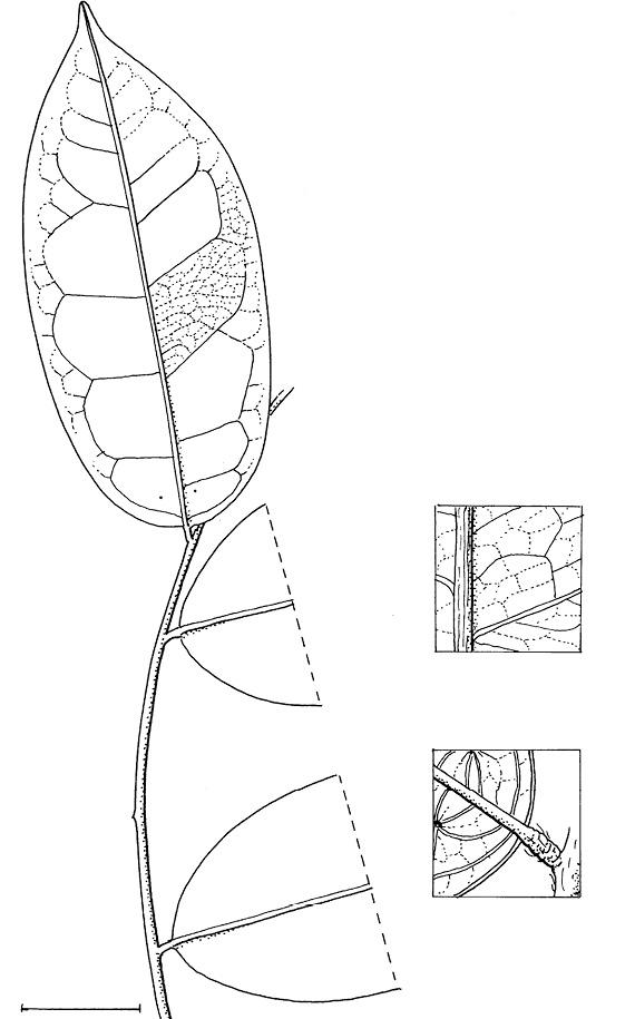 line image of Diospyros ferrea