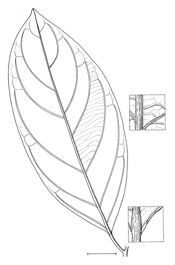 line image of Diospyros gilletii