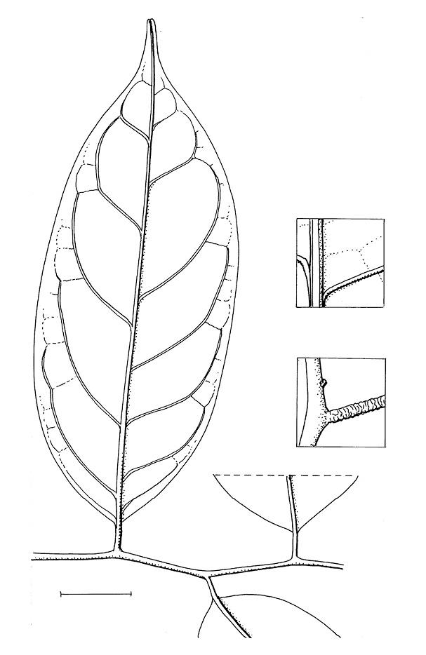 line image of Diospyros iturensis