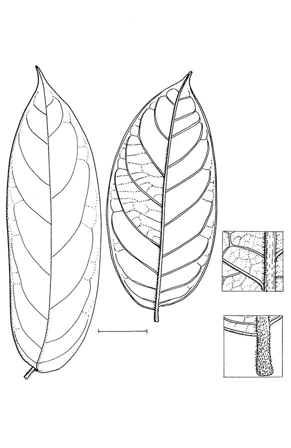 line image of Diospyros pseudomespilus