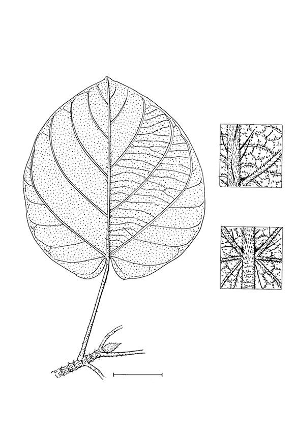 line image of Ficus mucuso