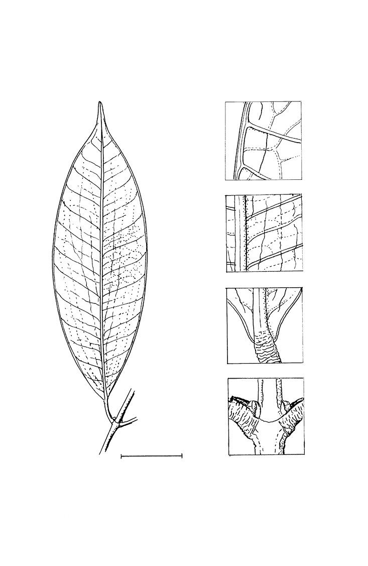 line image of Garcinia ovalifolia