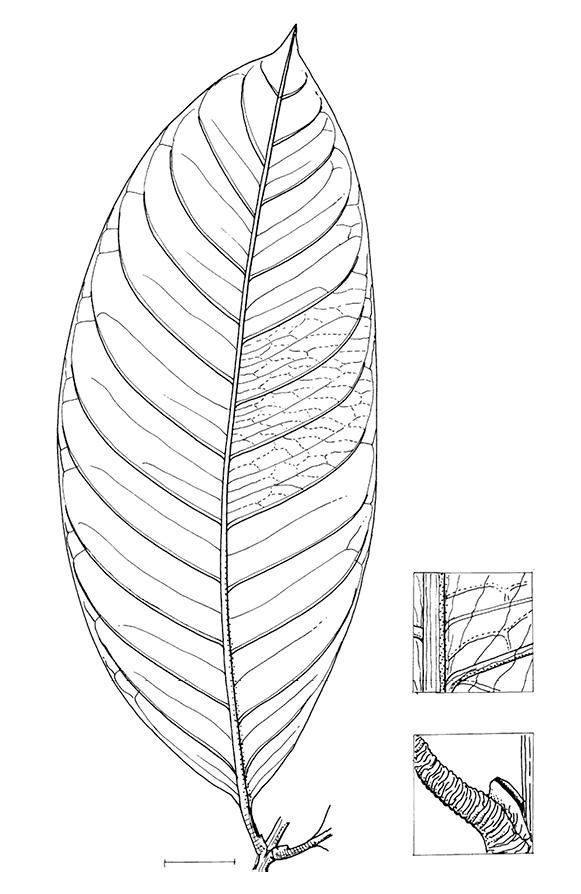 line image of Garcinia smeathmannii