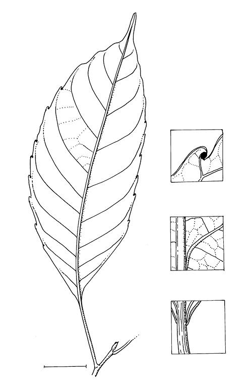 line image of Grossera macrantha