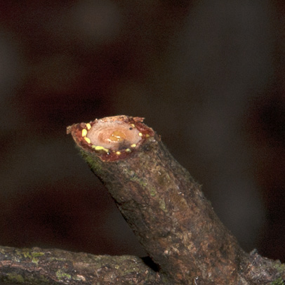 Garcinia smeathmannii Cut twig.