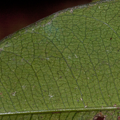 Garcinia smeathmannii Midrib and venation, leaf lower surface.