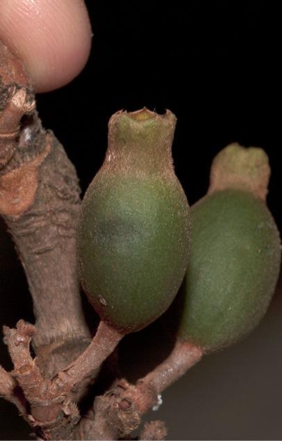 Aoranthe cladantha Immature fruit.