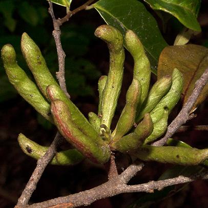 Xylopia aethiopica Almost ripe fruit.