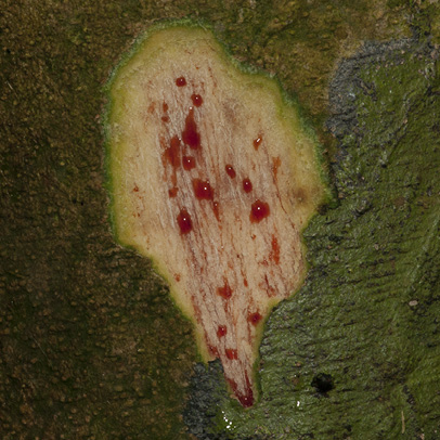 Platysepalum chevalieri Fruit.