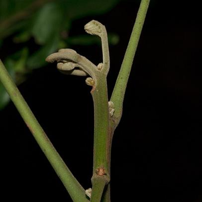 Trichilia welwitschii Terminal shoot.