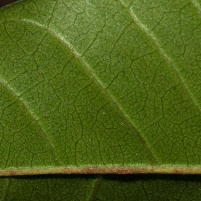 Trichilia welwitschii Midrib and venation, leaflet lower surface.
