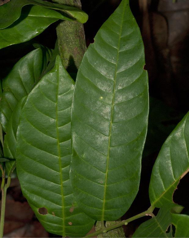 Trichilia welwitschii Leaflet, upper surface.