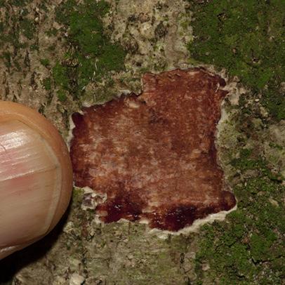 Phyllanthus polyanthus Bark and slash.