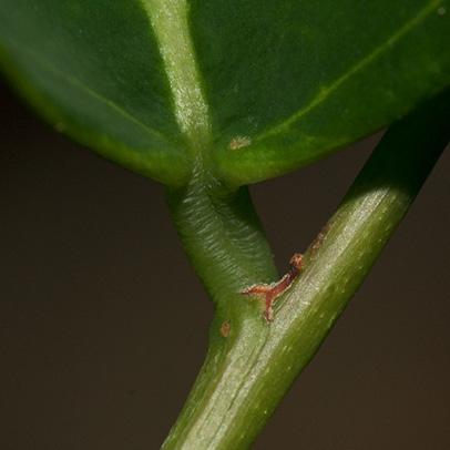 Phyllanthus polyanthus Leaf base, petiole and stipule.