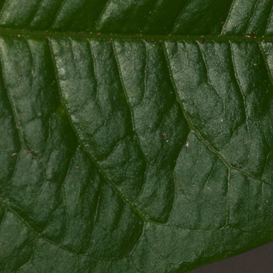 Margaritaria discoidea Midrib and venation, upper surface.