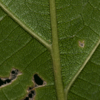 Lindackeria dentata Midrib and venation, leaf lower surface.
