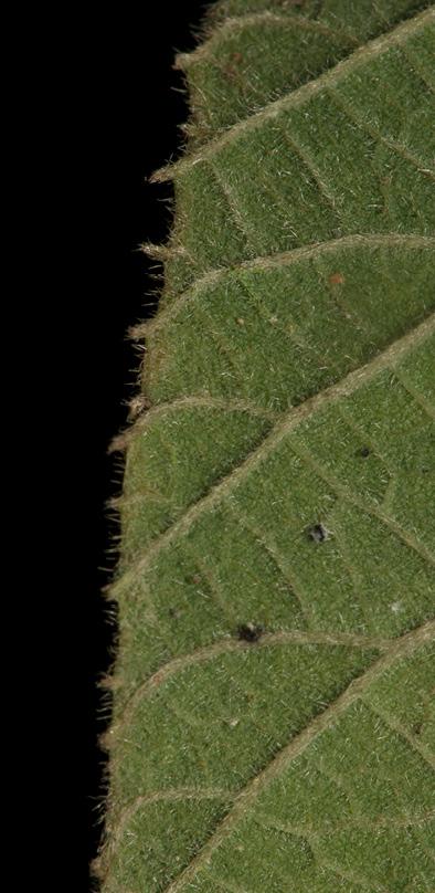 Buchnerodendron speciosum Leaf margin, lower surface.
