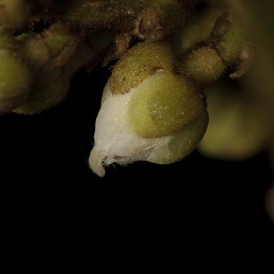 Deinbollia molliuscula Flower.