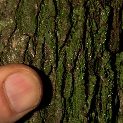Diospyros pseudomespilus Bark.