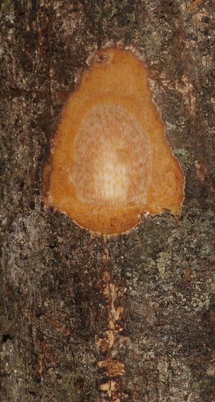 Deinbollia molliuscula Slash.