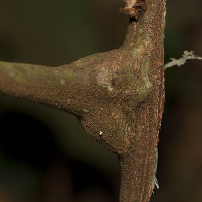 Deinbollia molliuscula Petiole base.